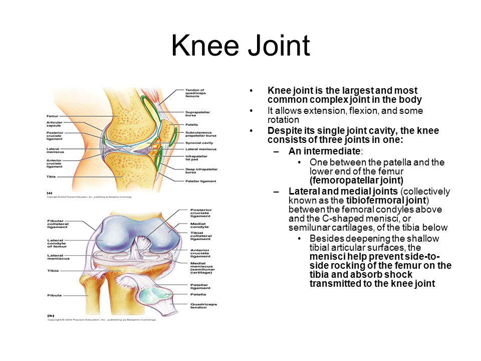 Knee Joint Knee joint is the largest and most common complex joint in the body It allows extension, flexion, and some rotation Despite its single joint cavity, the knee consists of three joints in one: –An intermediate: One between the patella and the lower end of the femur (femoropatellar joint) –Lateral and medial joints (collectively known as the tibiofermoral joint) between the femoral condyles above and the C-shaped menisci, or semilunar cartilages, of the tibia below Besides deepening the shallow tibial articular surfaces, the menisci help prevent side-to- side rocking of the femur on the tibia and absorb shock transmitted to the knee joint
