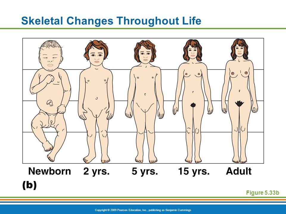 Copyright © 2009 Pearson Education, Inc., publishing as Benjamin Cummings Skeletal Changes Throughout Life Figure 5.33b