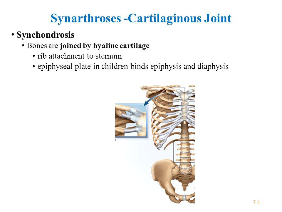 Amphiarthroses - fibrous joint Syndesmosis Two bones bound by ligament only interosseus membrane Most movable of fibrous joints Interosseus membranes unite radius to ulna and tibia to fibula 7-5