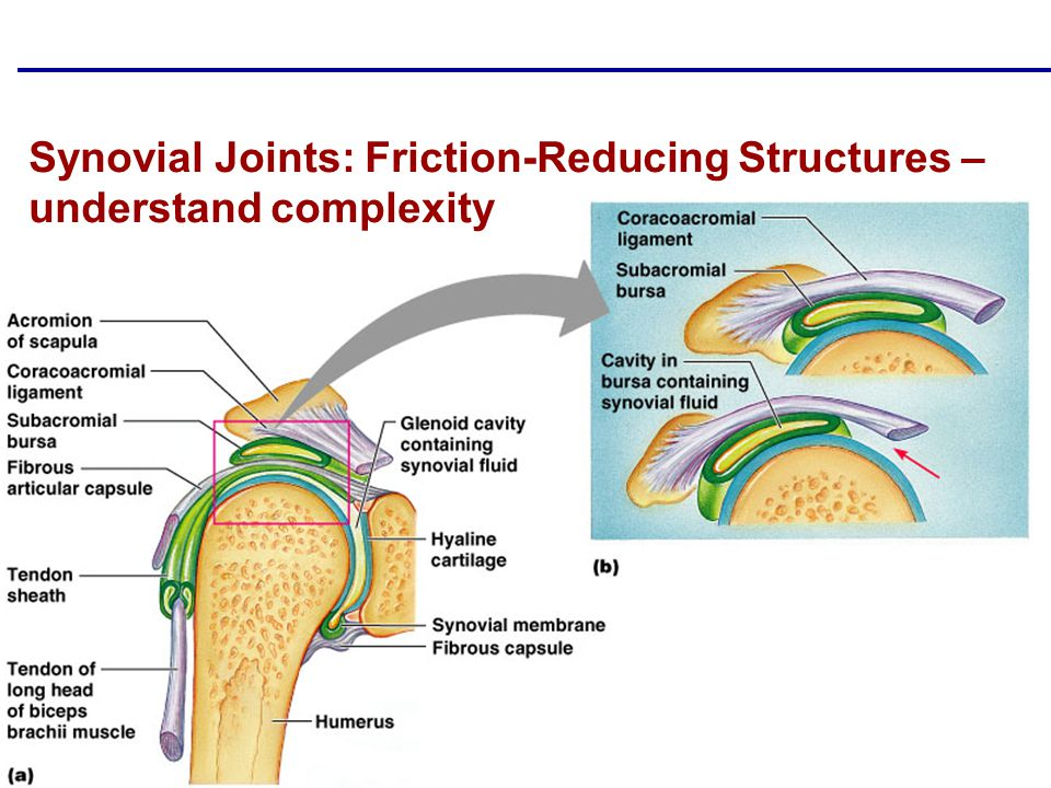 Copyright © 2004 Pearson Education, Inc., publishing as Benjamin Cummings Synovial Joints: Friction-Reducing Structures – understand complexity
