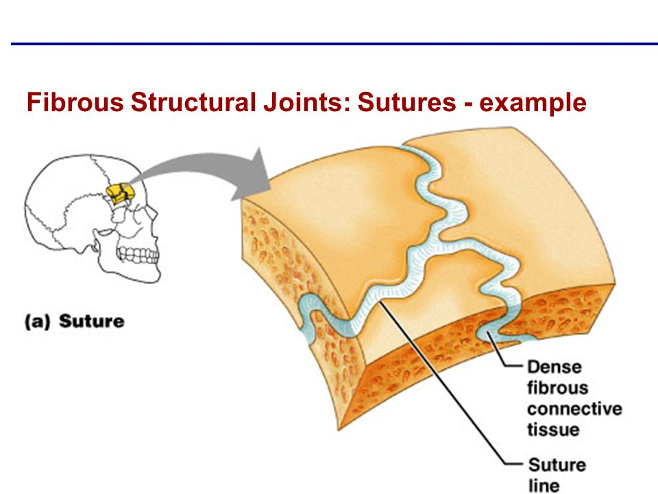 Copyright © 2004 Pearson Education, Inc., publishing as Benjamin Cummings Fibrous Structural Joints: Sutures - example Figure 8.1a