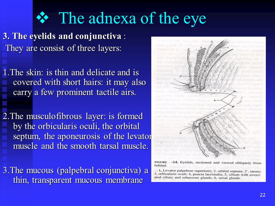 22  The adnexa of the eye 3.