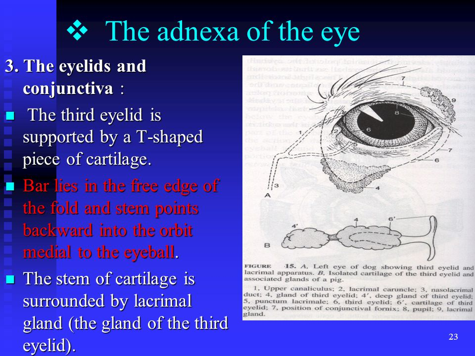 23  The adnexa of the eye 3.