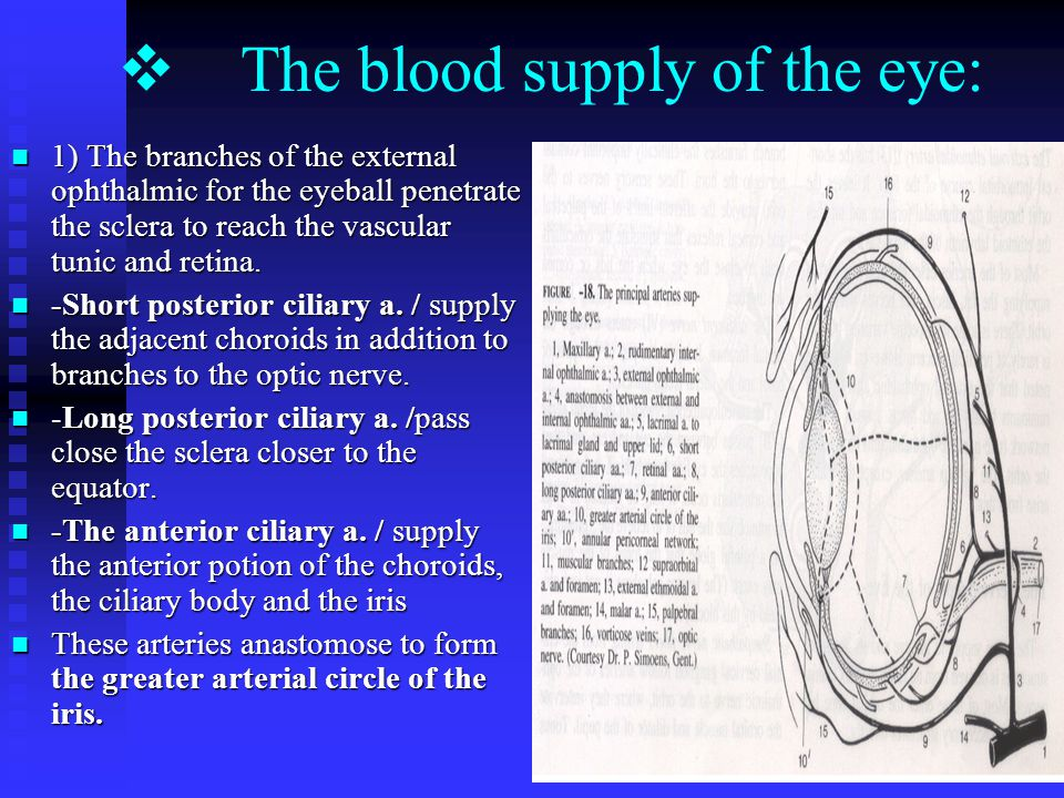 26  The blood supply of the eye: 1) The branches of the external ophthalmic for the eyeball penetrate the sclera to reach the vascular tunic and retina.