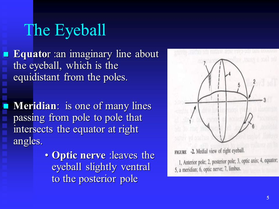 5 The Eyeball Equator :an imaginary line about the eyeball, which is the equidistant from the poles.