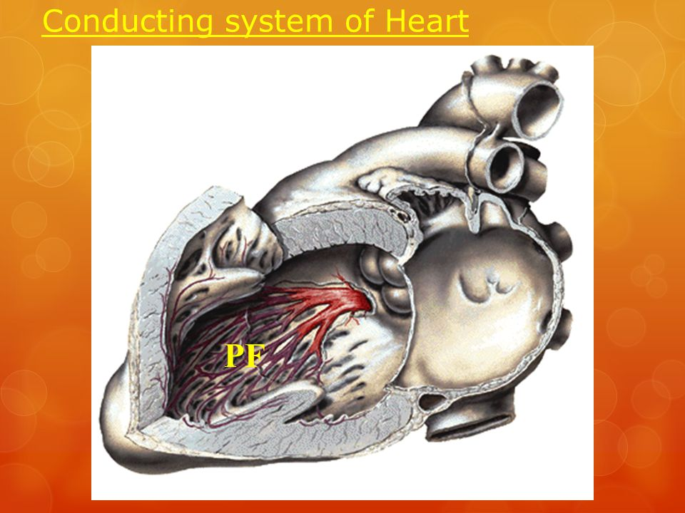 Conducting system of Heart PF