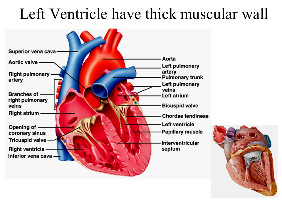 Left Ventricle have thick muscular wall