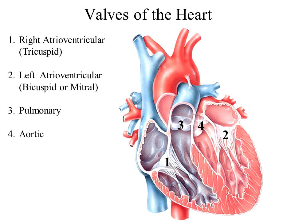 Valves of the Heart 1 2 3 4 1.Right Atrioventricular (Tricuspid) 2.Left Atrioventricular (Bicuspid or Mitral) 3.Pulmonary 4.Aortic