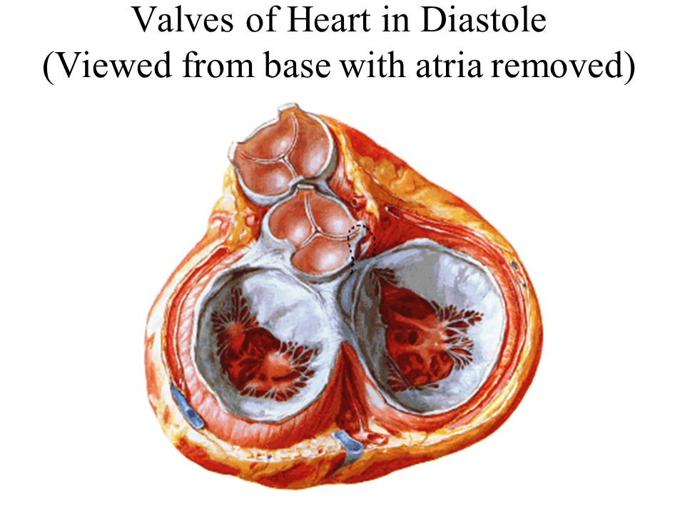 Valves of Heart in Diastole (Viewed from base with atria removed)