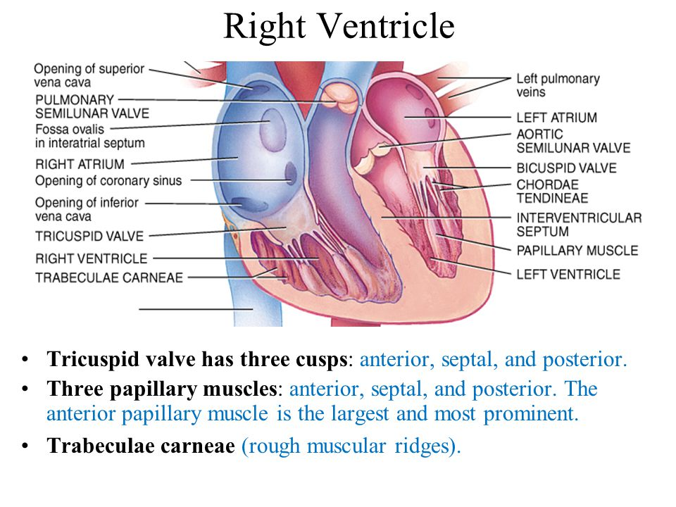 Tricuspid valve has three cusps: anterior, septal, and posterior.