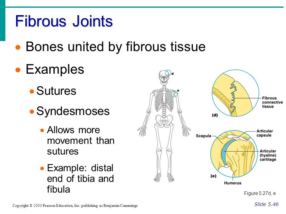 Fibrous Joints Slide 5.46 Copyright © 2003 Pearson Education, Inc.