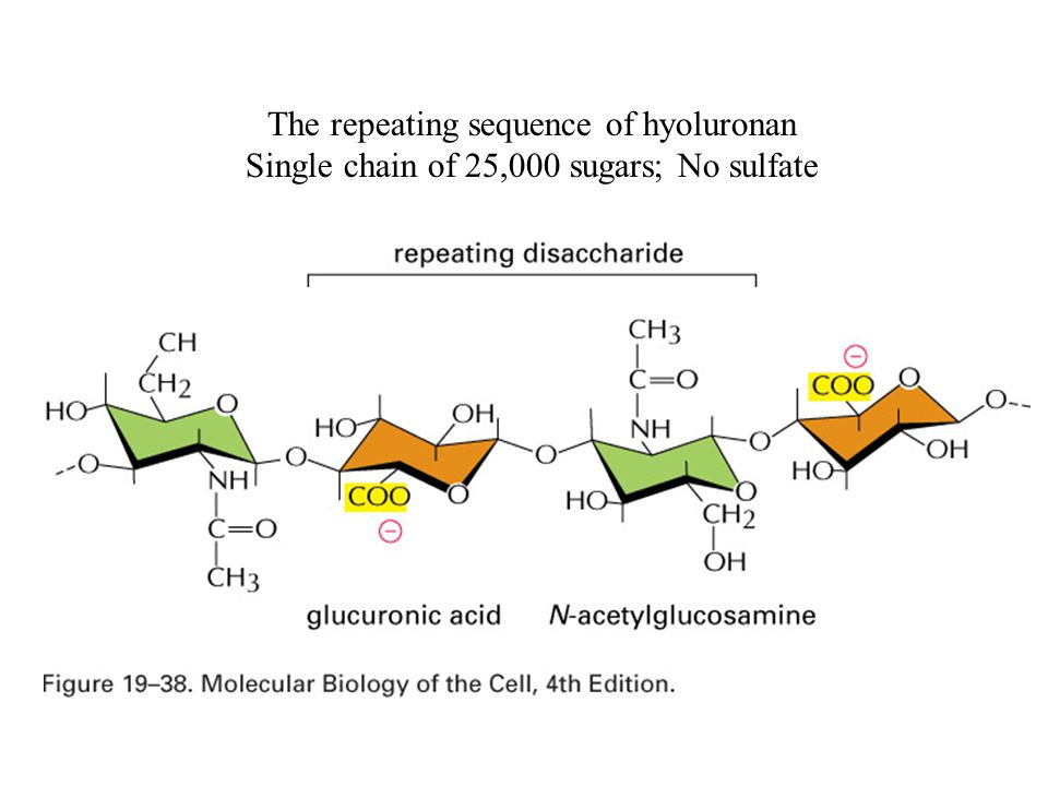 The repeating sequence of hyoluronan Single chain of 25,000 sugars; No sulfate
