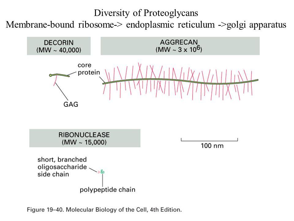 Diversity of Proteoglycans Membrane-bound ribosome-> endoplasmic reticulum ->golgi apparatus