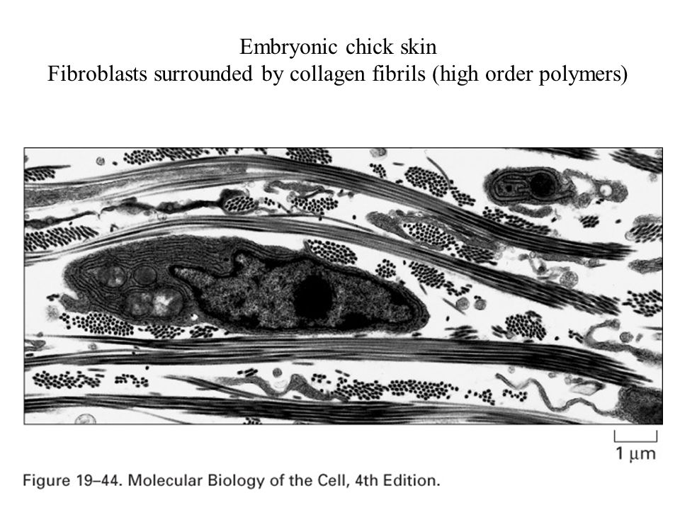 Embryonic chick skin Fibroblasts surrounded by collagen fibrils (high order polymers)