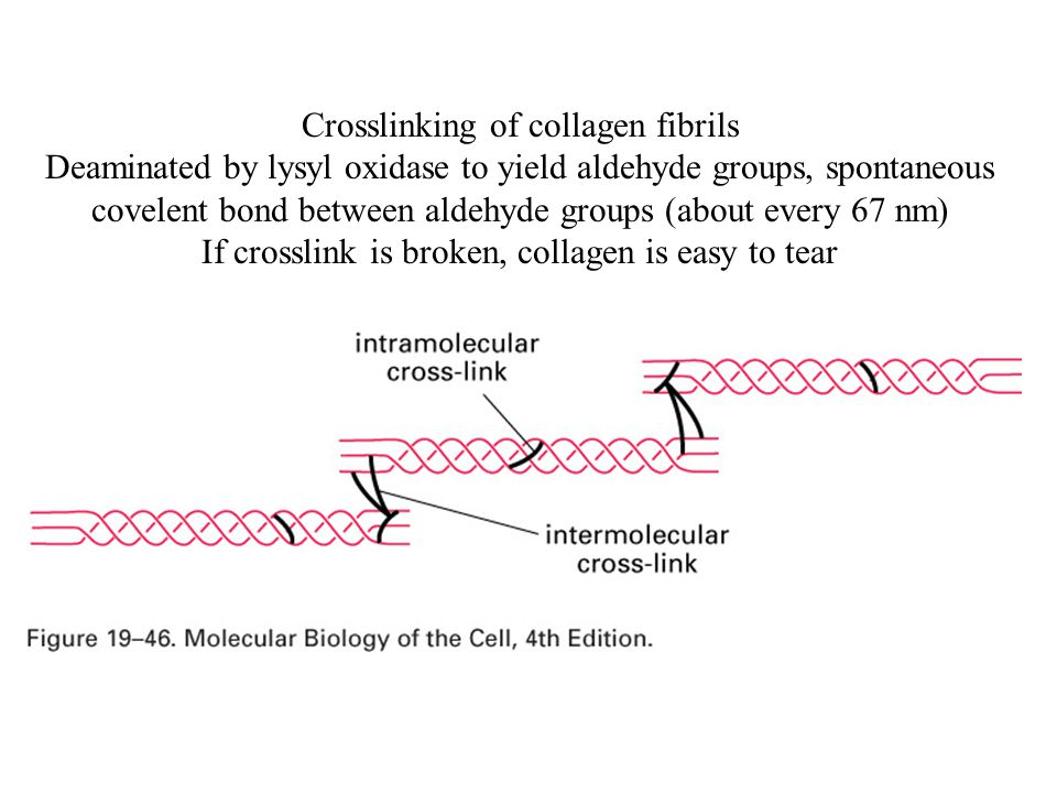 Crosslinking of collagen fibrils Deaminated by lysyl oxidase to yield aldehyde groups, spontaneous covelent bond between aldehyde groups (about every