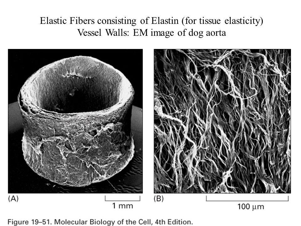 Elastic Fibers consisting of Elastin (for tissue elasticity) Vessel Walls: EM image of dog aorta