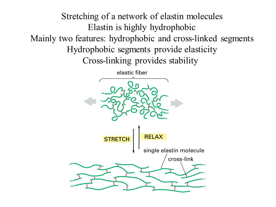 Stretching of a network of elastin molecules Elastin is highly hydrophobic Mainly two features: hydrophobic and cross-linked segments Hydrophobic segm