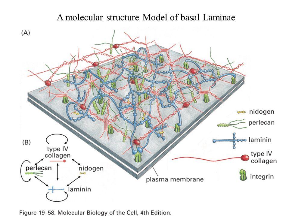 A molecular structure Model of basal Laminae