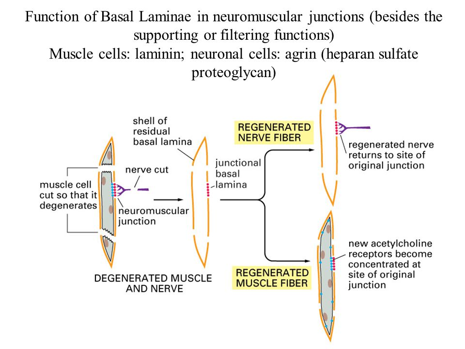 Function of Basal Laminae in neuromuscular junctions (besides the supporting or filtering functions) Muscle cells: laminin; neuronal cells: agrin (hep