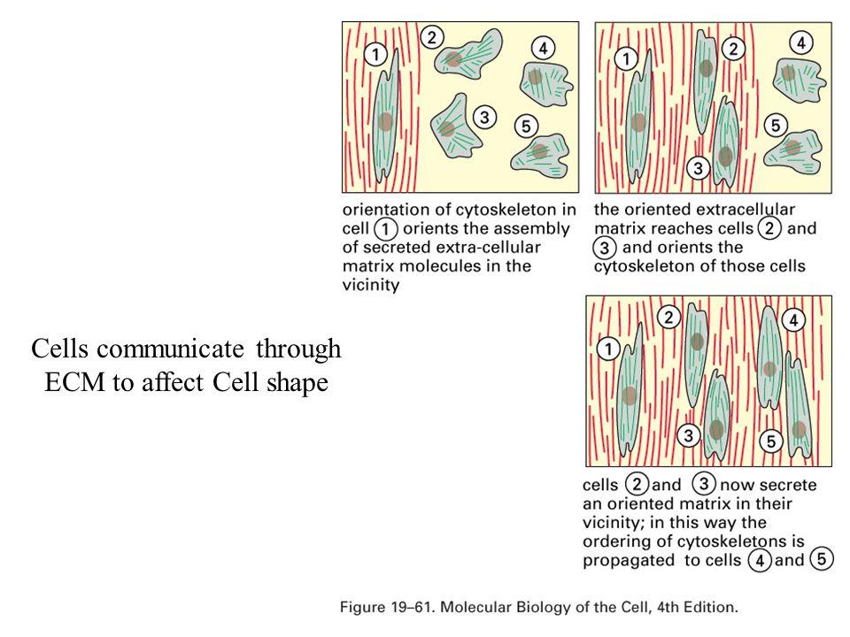Cells communicate through ECM to affect Cell shape