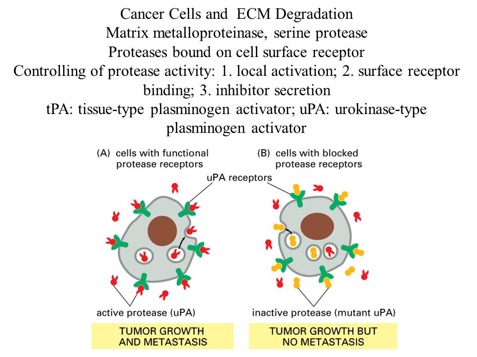 Cancer Cells and ECM Degradation Matrix metalloproteinase, serine protease Proteases bound on cell surface receptor Controlling of protease activity: