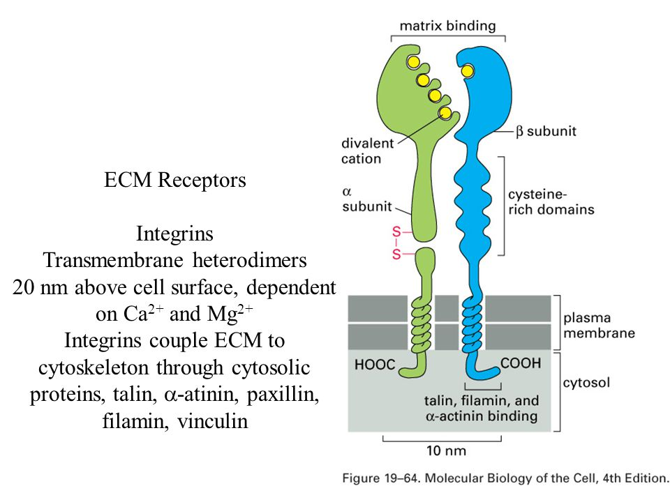 ECM Receptors Integrins Transmembrane heterodimers 20 nm above cell surface, dependent on Ca 2+ and Mg 2+ Integrins couple ECM to cytoskeleton through