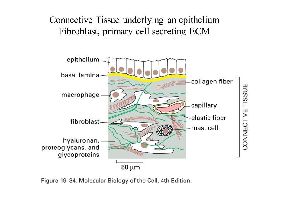 Connective Tissue underlying an epithelium Fibroblast, primary cell secreting ECM