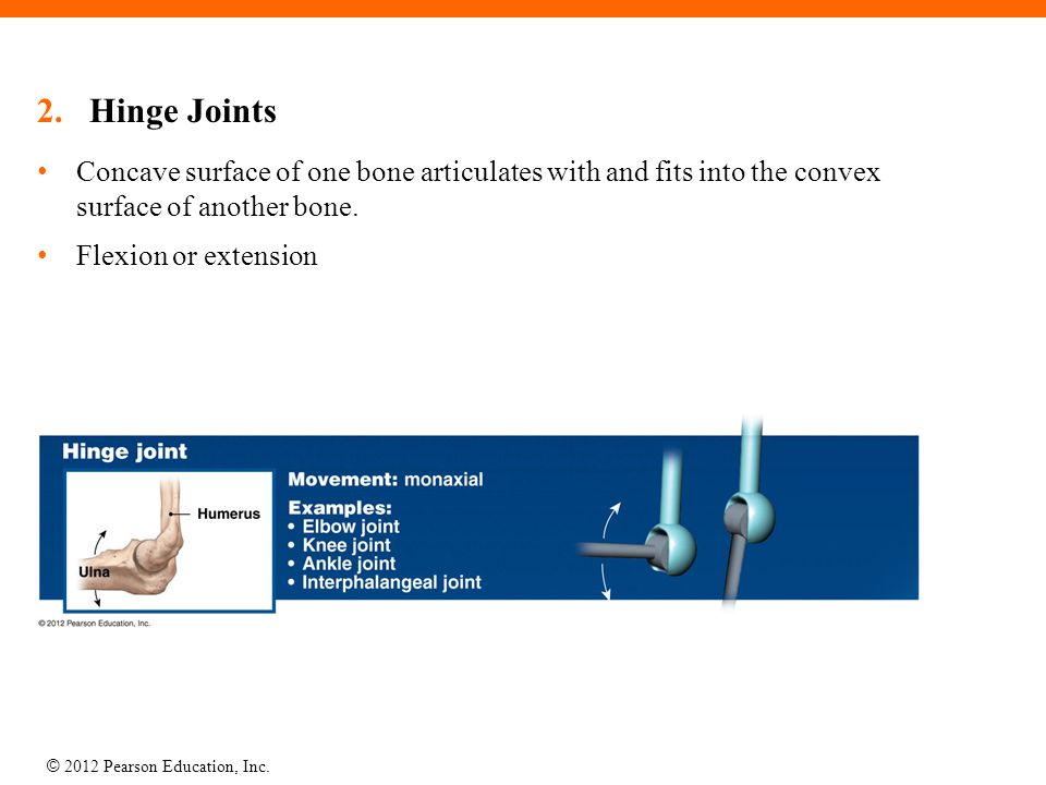 © 2012 Pearson Education, Inc. 2.Hinge Joints Concave surface of one bone articulates with and fits into the convex surface of another bone. Flexion o