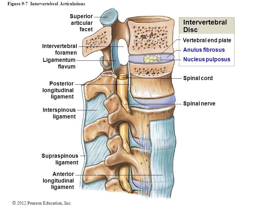 © 2012 Pearson Education, Inc. Figure 9-7 Intervertebral Articulations Vertebral end plate Anulus fibrosus Nucleus pulposus Spinal cord Spinal nerve I