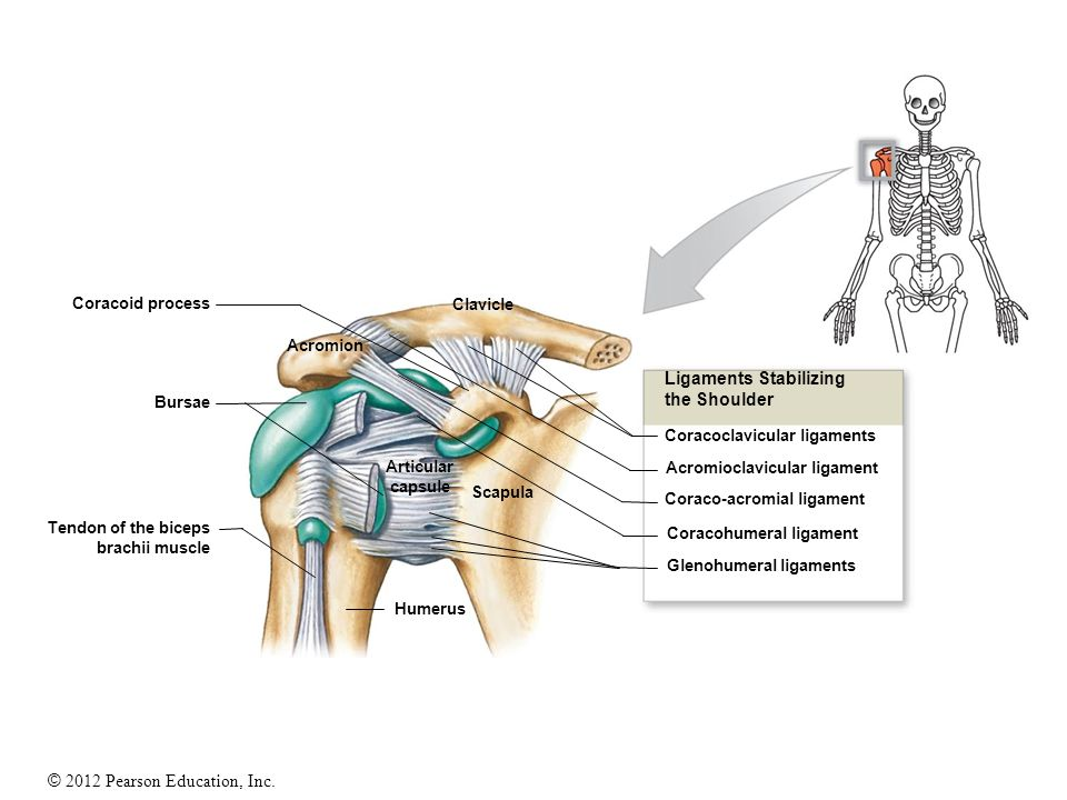 Coracoid process Clavicle Acromion Bursae Articular capsule Scapula Humerus Tendon of the biceps brachii muscle Ligaments Stabilizing the Shoulder Cor