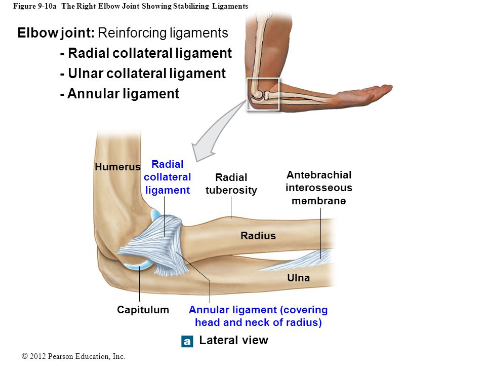 © 2012 Pearson Education, Inc. Figure 9-10a The Right Elbow Joint Showing Stabilizing Ligaments Lateral view Capitulum Humerus Radius Ulna Radial coll