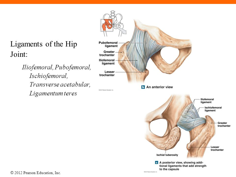 © 2012 Pearson Education, Inc. Ligaments of the Hip Joint: Iliofemoral, Pubofemoral, Ischiofemoral, Transverse acetabular, Ligamentum teres