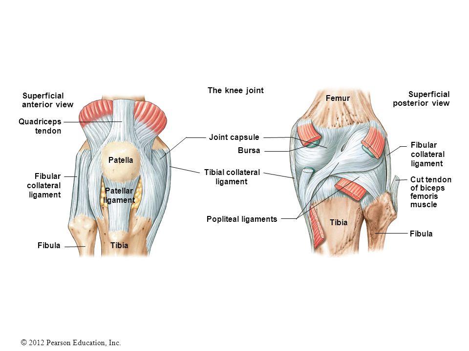 © 2012 Pearson Education, Inc. Superficial anterior view Superficial posterior view The knee joint Quadriceps tendon Fibular collateral ligament Fibul