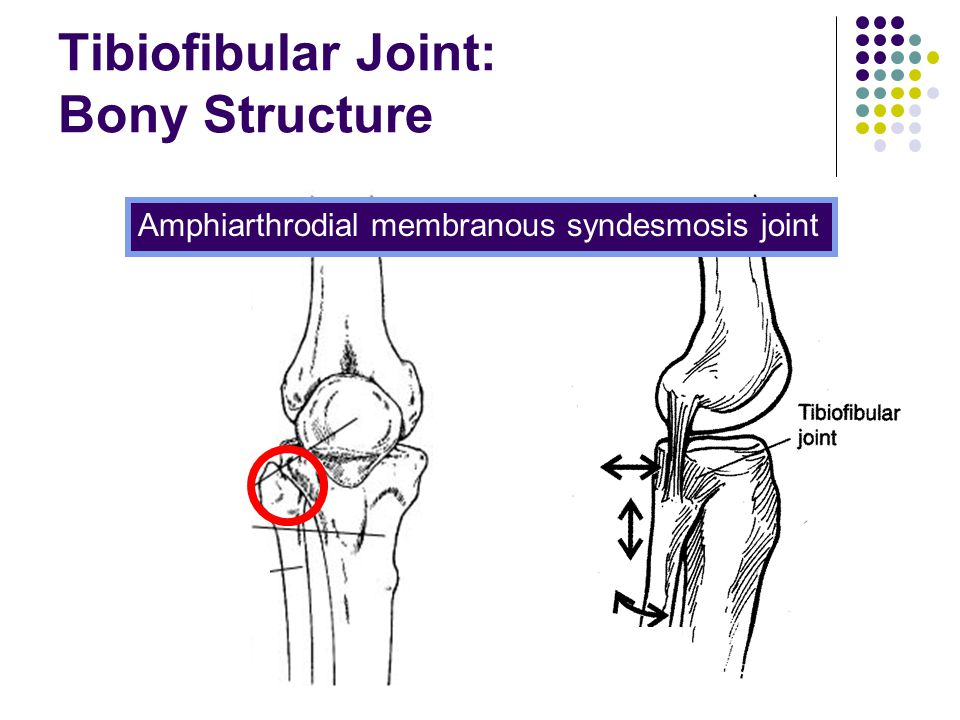 Tibiofibular Joint: Bony Structure Amphiarthrodial membranous syndesmosis joint