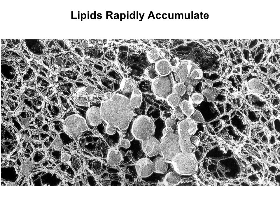 Lipids Rapidly Accumulate