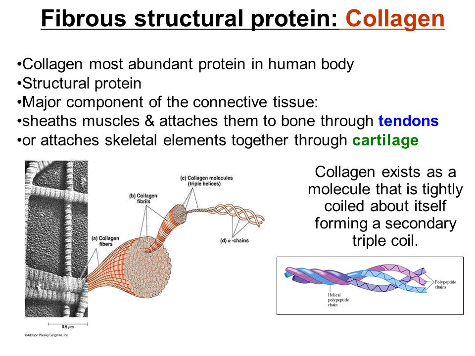 Fibrous structural protein: Collagen Collagen most abundant protein in human body Structural protein Major component of the connective tissue: sheaths muscles & attaches them to bone through tendons or attaches skeletal elements together through cartilage Collagen exists as a molecule that is tightly coiled about itself forming a secondary triple coil.