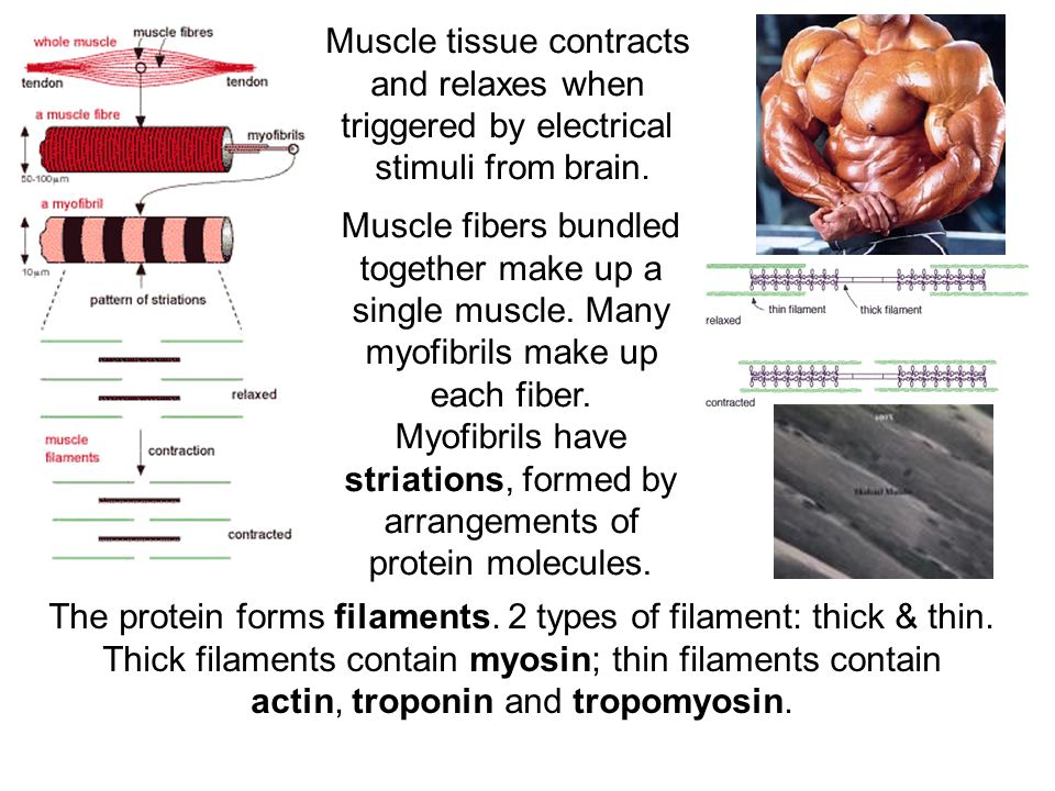 Muscle tissue contracts and relaxes when triggered by electrical stimuli from brain.