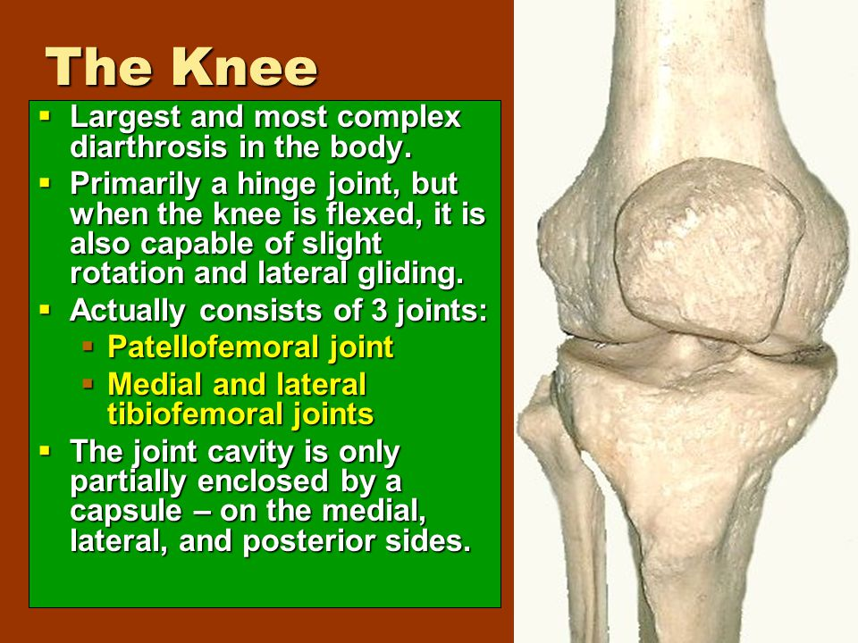 The Knee  Largest and most complex diarthrosis in the body.  Primarily a hinge joint, but when the knee is flexed, it is also capable of slight rota