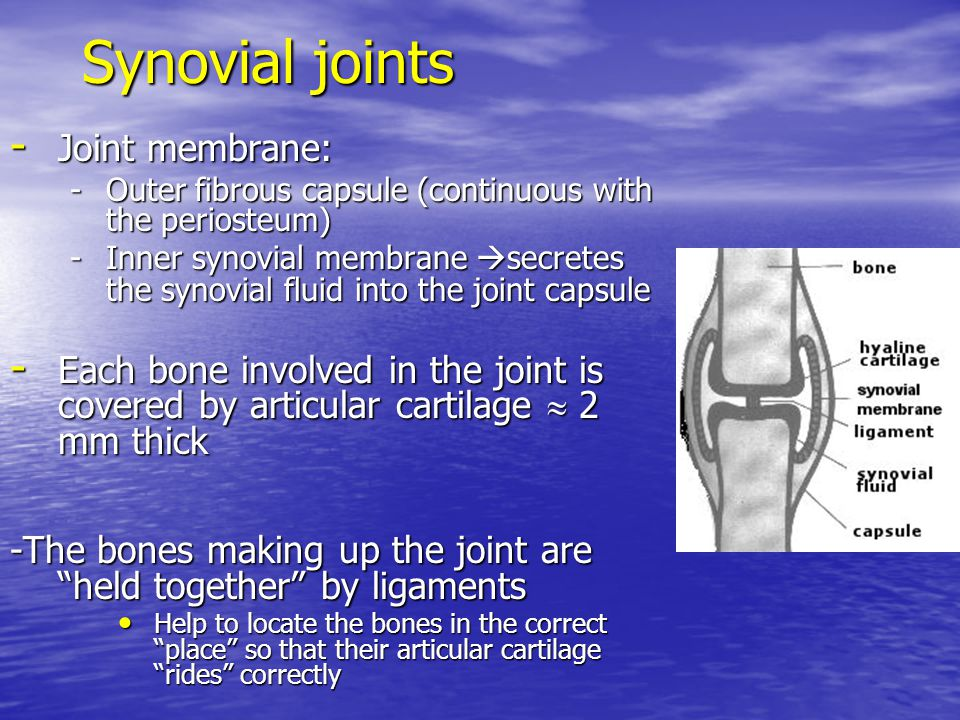Synovial joints - Joint membrane: -Outer fibrous capsule (continuous with the periosteum) -Inner synovial membrane  secretes the synovial fluid into