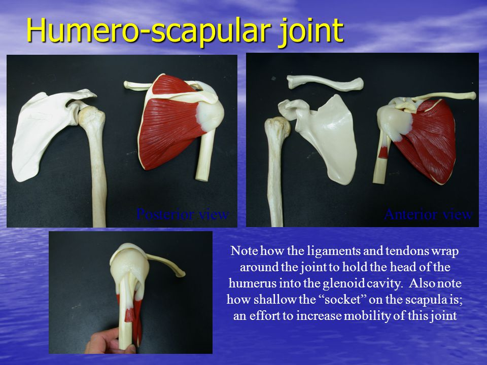 Humero-scapular joint Anterior viewPosterior view Note how the ligaments and tendons wrap around the joint to hold the head of the humerus into the gl