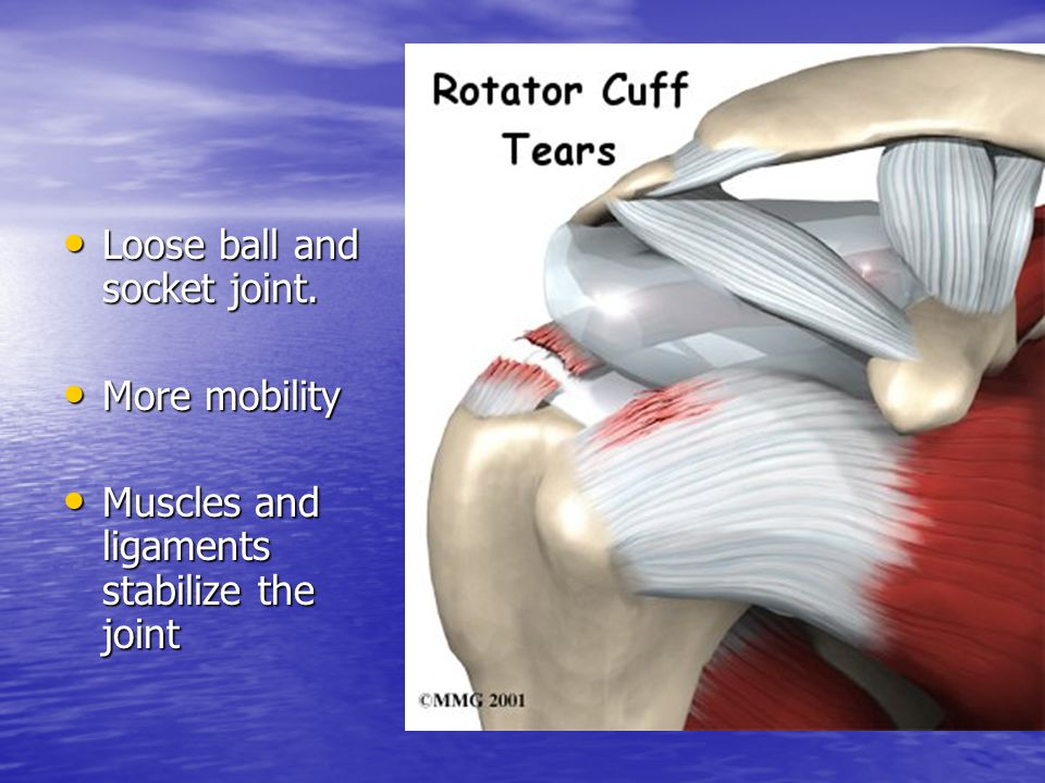 Loose ball and socket joint. Loose ball and socket joint. More mobility More mobility Muscles and ligaments stabilize the joint Muscles and ligaments