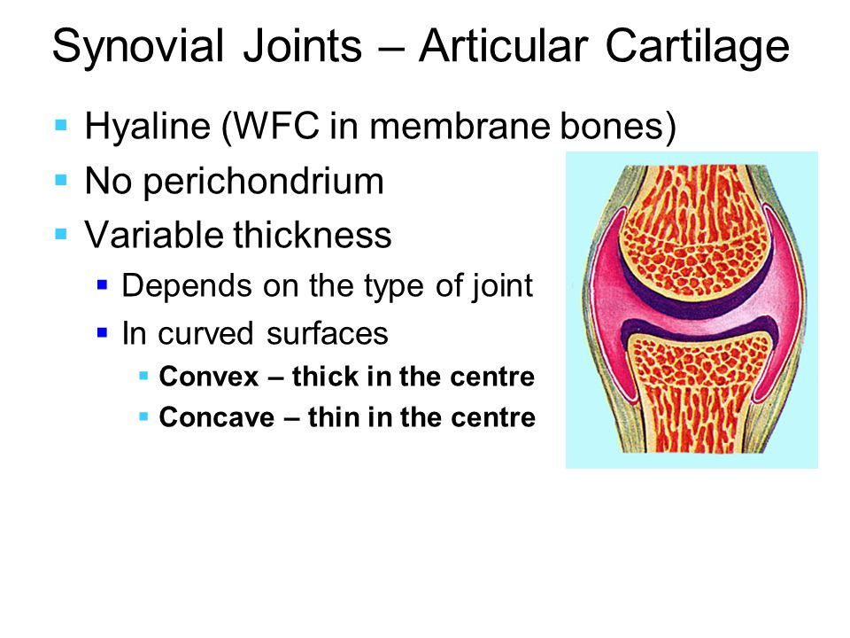 Synovial Joints – Articular Cartilage  Hyaline (WFC in membrane bones)  No perichondrium  Variable thickness  Depends on the type of joint  In curved surfaces  Convex – thick in the centre  Concave – thin in the centre
