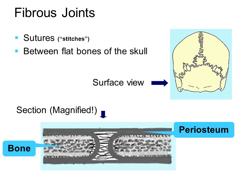 Fibrous Joints  Syndesmoses  Inferior tibiofibular joint (Not shown here)  Interosseous membranes  Separation of compartments  Additional areas for muscle attachments  Some other ligaments…  Gomphoses  Tooth and bone  Peg-and-socket R U