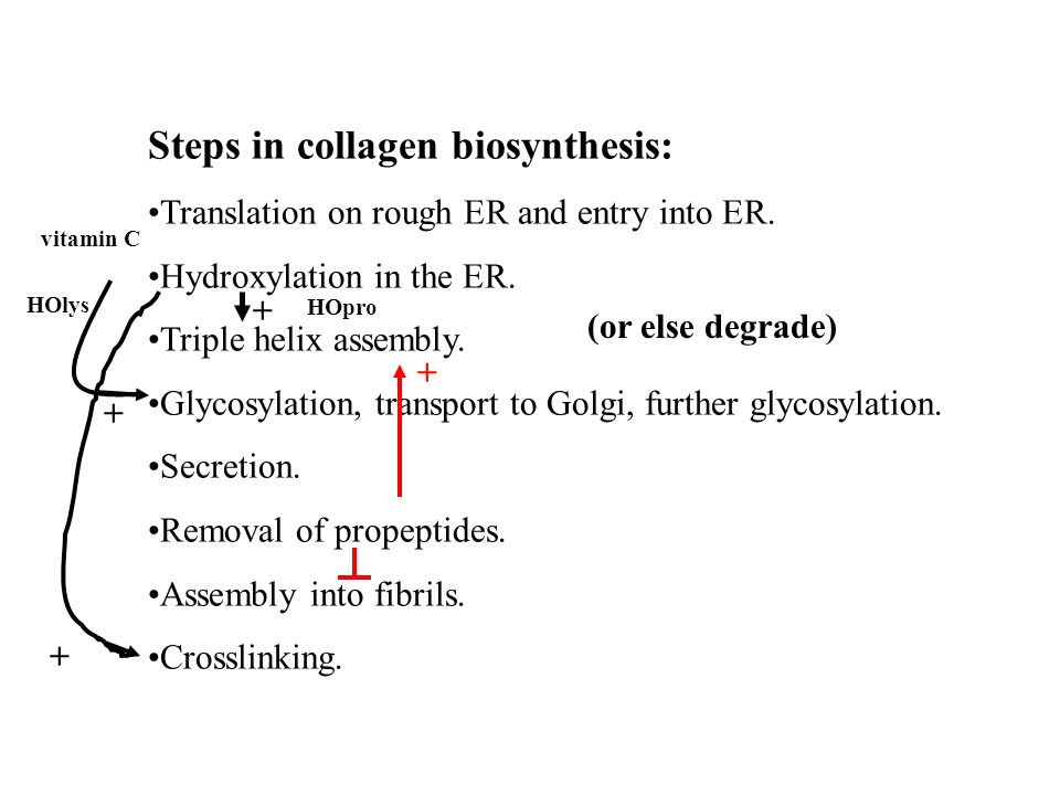 Steps in collagen biosynthesis: Translation on rough ER and entry into ER.