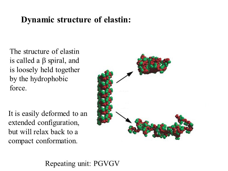 Dynamic structure of elastin: The structure of elastin is called a  spiral, and is loosely held together by the hydrophobic force.
