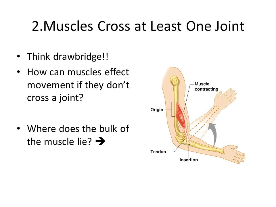 2.Muscles Cross at Least One Joint Think drawbridge!! How can muscles effect movement if they don't cross a joint? Where does the bulk of the muscle l