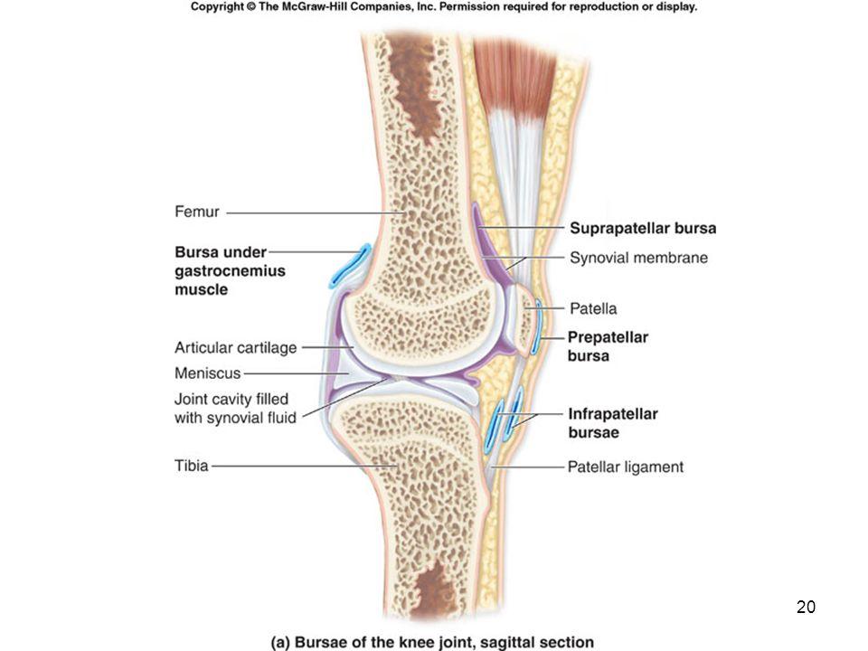 Bursae Choice Image - human anatomy organs diagram