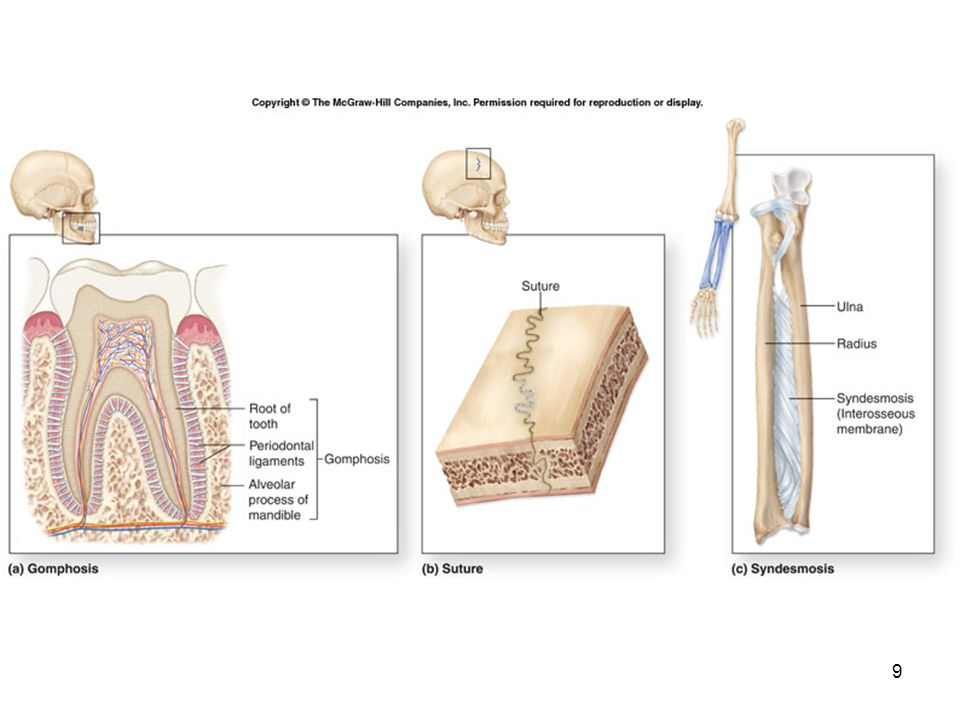 9-10 Fibrous Joints Most are immovable or only slightly movable.