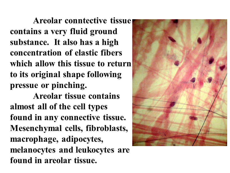 Areolar conntective tissue contains a very fluid ground substance. It also has a high concentration of elastic fibers which allow this tissue to retur