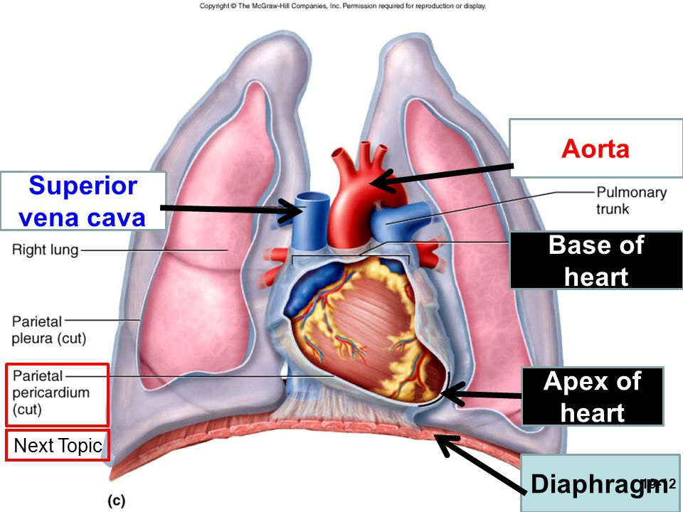 Base of heart Apex of heart Aorta Superior vena cava Diaphragm 19-12 Next Topic
